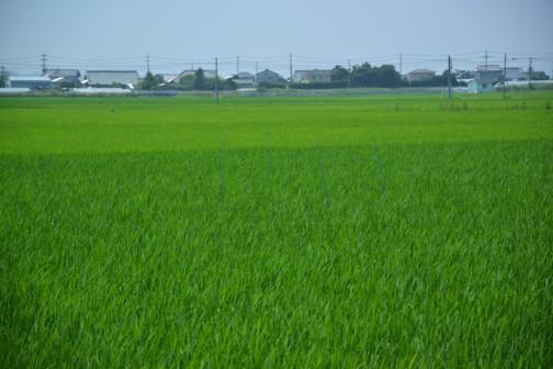 飼料稲の直播、生育状況。これだけ見たらもうわかりませんね。