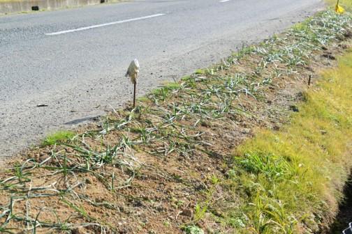 活動で道路脇に植えたヒガンバナです。なぜかぺったりしちゃってるんだよなあ・・・