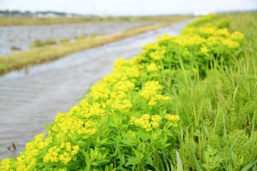 ノウルシ(野漆 学名:Euphorbia adenochlora)は、北海道から九州の河川敷や湿地に生育する高さ30 - 50センチメートルほどの多年草。和名の由来は、茎葉に傷をつけるとウルシ(漆)に似た白乳液が出ることからきている。有毒植物の一つ。