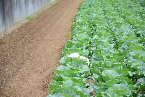 「白いキャベツがあっから見てきてみろ?」とMさんに言われて「どこ?」と、キャベツ畑を見ると・・・「もしかしてあれ?」まるでコンビニの袋が畑に引っかかっている感じですが・・・