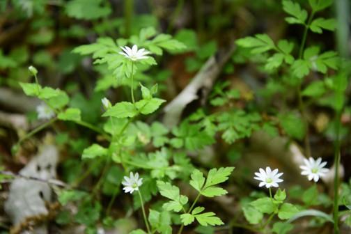 ハコベの花に似ているけどもっと大きい(直径1センチくらい?)のシャープな白い花。薮の中でもエッジが立ってよく目立ちます。ノミノフスマじゃないかなって思います。