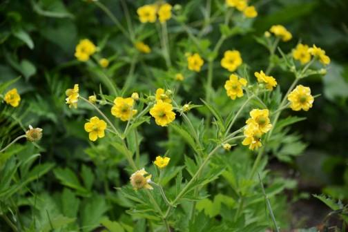 ウマノアシガタ(馬の足形、毛茛、Ranunculus japonicus)は、キンポウゲ科キンポウゲ属の野草。別名キンポウゲ(金鳳花、毛茛)はウマノアシガタの八重咲のものを指す。