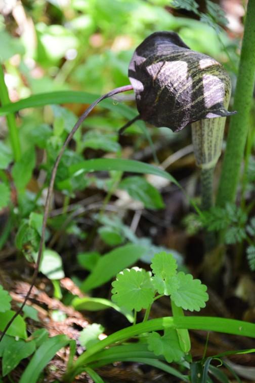 ウラシマソウ(学名 Arisaema urashima)は、サトイモ科テンナンショウ属の宿根性の多年草。ナンゴクウラシマソウ (Arisaema thunbergii Blume)の亜種 Arisaema thunbergii urashima (Hara) Ohashi et J. Murata とする説もある。