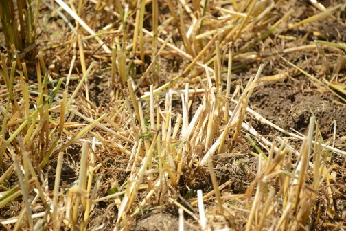 会場と駐車場は麦を刈ったあとの麦畑。いきなりでちょっと驚きました。こんなに近くで見るのは初めてです。稲はザラザラで引っかかりがある感じなのに、麦はツルツル、ピカピカしています。