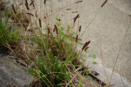 外来植物のヘラオオバコ。数年前には国道までで島地区では見られなかったのに、川の護岸にまで入り込んでいます。