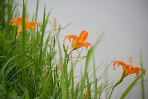 水路の際、スライドモアが届かないところではノカンゾウが咲いています。