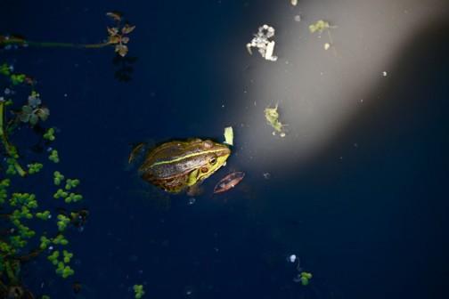 トノサマガエルのグリーンのラインも夏の日差しにとっても引き立ってます。