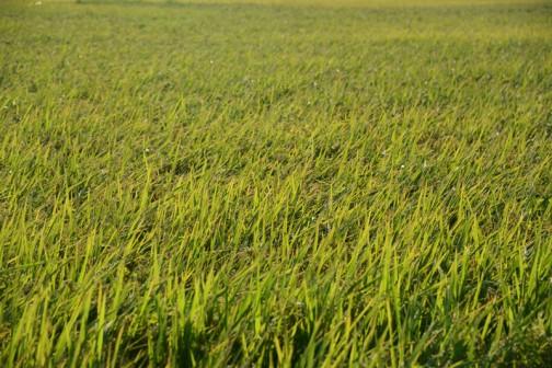 これがそのホシアオバ。夢アオバに比べて背が低く食用米と見分けがつきにくいです。色も黄色っぽく見えます。