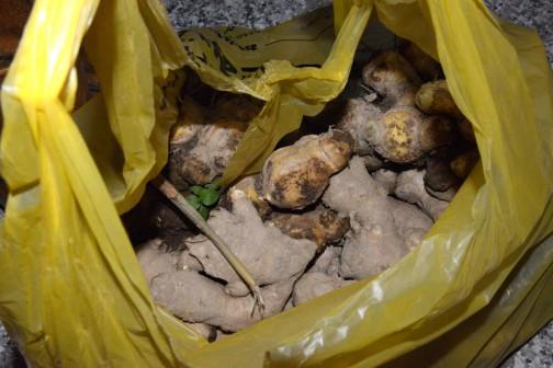 畑には元々の種芋?だったショウガが打ち捨てられています。それをゴミ袋一杯もらってきました。おじいさんショウガは明らかに面の皮が厚く、薄皮から黄色い中身がみえるような新ショウガとは違います。