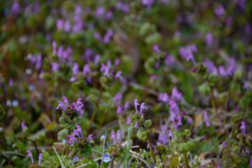 ホトケノザ。今年は大量に生えているような気がする。田んぼの法面などもうっすらとこの花で紫になっていたりするんですけど、今までこうだったかなあ・・・忘れてるのか、今年は陽気が味方してホトケノザの勢いがいいのかよくわかりません。
