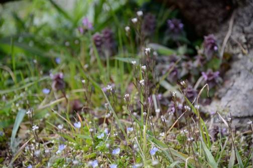 庭ではタネツケバナの小さな白い花がたくさん咲いてます。これは去年こんなに咲いてなかった。はず。最後の草刈りのタイミングなのか、ホトケノザの間に押し入ってまで咲いてます。春の花、ちょっとの変化で総取りの勢い。微妙な条件下で命の戦いを繰り広げてます。