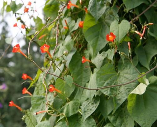これもウィキペディアから。さらにヒルガオ科サツマイモ属ですから、サツマイモの葉にも似ています。