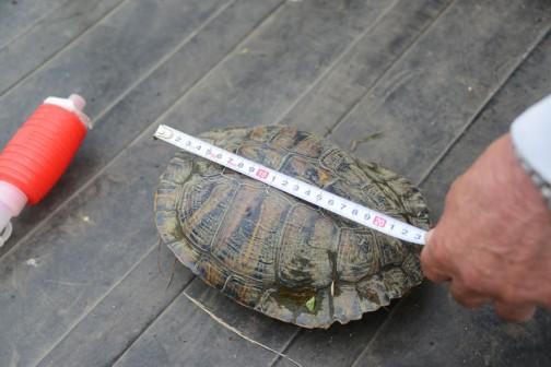 甲羅の大きさは長手方向で23センチほど。