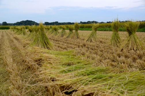 今、コンバインで普通に稲刈りすると、藁は短く裁断されて田んぼに撒かれてしまいます。土に帰すってことですね。しかし、わらづと【藁苞】用の藁は長いものでなければなりません。ですから、いまでは「水戸納豆」として知られる「わらづと【藁苞】納豆」が絶滅の危機に瀕しているんです。