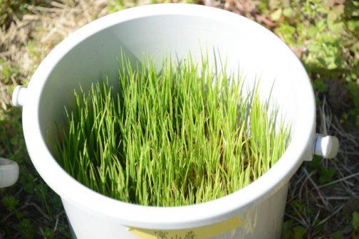 4月10日富山産あきたこまち。水はやっているのですが日に日に緑が薄くなる感じ。仕事は忙しいけど、早く田植えしてやらないとまずいかも・・・
