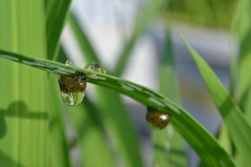 泥負虫(ドロオイムシ)、正確にはイネクビボソハムシというムシの幼虫だったのです。コイツはなんと「幼虫は背に泥状に見える糞を背負う」とあり、思わず「うげー」