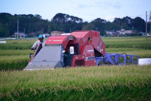飼料稲の稲刈りです。