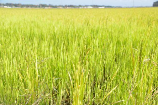 でも、田んぼは緑っぽいんですよね。昨日天気予報を見ていたら、お天気キャスターがこの田んぼの状態を「稲孫」というのだ・・・と紹介していました。