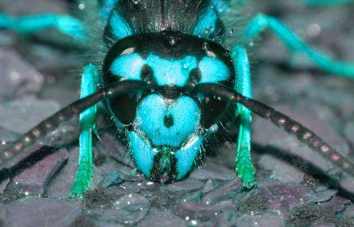 青いスズメバチ
