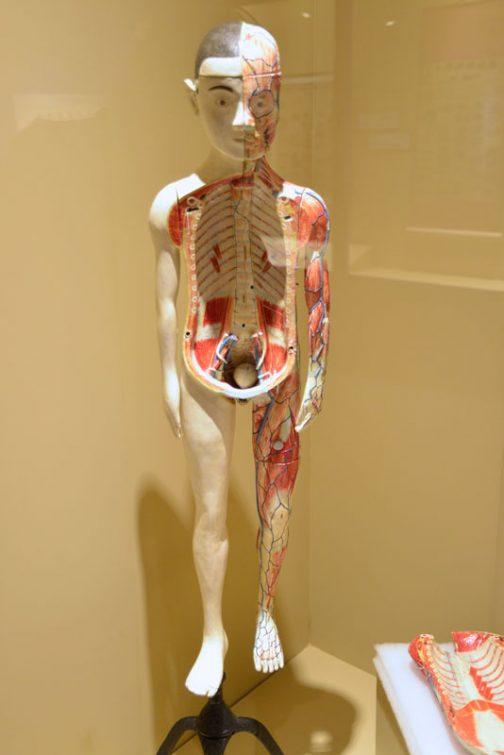 キャプションには 島津製作所製「人体模型」 1895(明治28)年には、島津製作所の二代目島津源蔵が教育用の人体模型や動物標本の本格的販売を始めた。その後同社が開発した軽くて発色が良い島津ファイバー製の人体模型は広く普及するようになる とあります。 小学校から医療系の学校まで広く教育が変わった・・・ということなのでしょう。