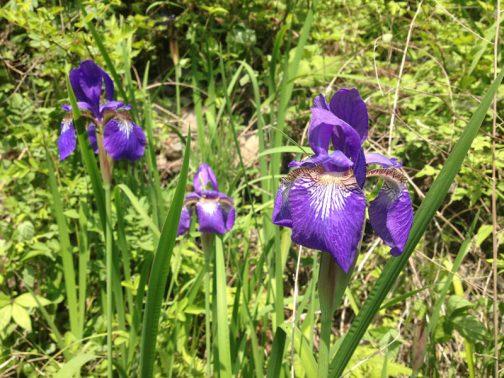 近くに寄るとこんな花です。調べてみると、アヤメでいいのでした。