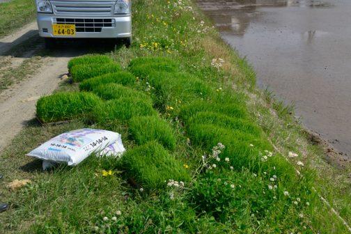 ちょっと!ちょっと!畔際に置くと雑草と見分けがつかなくなってます!