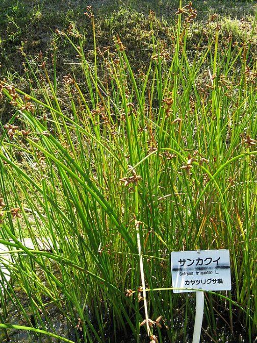 Wikipediaには シズイ(別名テガヌマイ、S. nipponicus Soják)は、北海道から九州の浅い池などに生える、ややまれな植物。サンカクイに似るが、より柔らかい感じで、葉も数枚が発達する。花茎先端の苞が花茎の延長になる点は共通するが、さらに1つの苞を生じることもある。 とあります、写真はサンカクイですね。