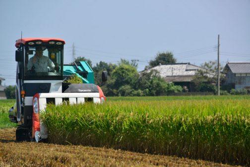 コンバインが通る抜けると切り株だけ残ります。その切り口もバリカンで刈っているので、ハンマーで刈る去年までの切り口と違います。