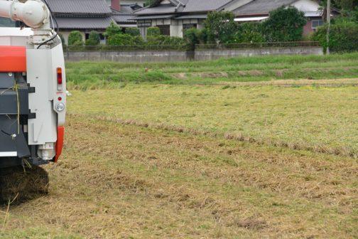 連絡を貰って行った時にはもう刈り始めていたのですが、稲刈の終った田んぼのようでビックリしました。刈り終わったところと、まだ残っているところ、わかるでしょうか?ほとんど高さに違いがありません。