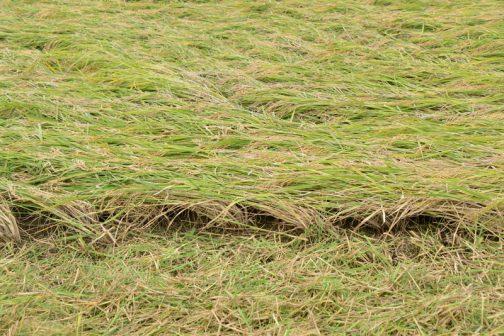 稲の根元、地上からわずか4〜5センチのところにピンポイントでバリカンを入れなくてはならず、運転席が高く、上から見下ろす形になるコンバインは距離感が掴みにくく、緊張を強いられる操作になりそうです。