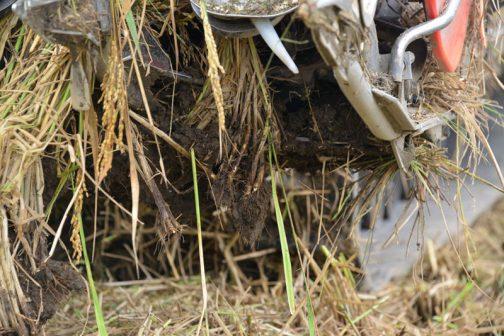 稲を根っこごと引きあげてしまい、デバイダー(っていうんでしたっけ?)に詰まってしまったのです。地面ギリギリにバリカンを持っていかなければなりませんから、倒れた稲を刈るということはこのようなリスクがあったのですね。