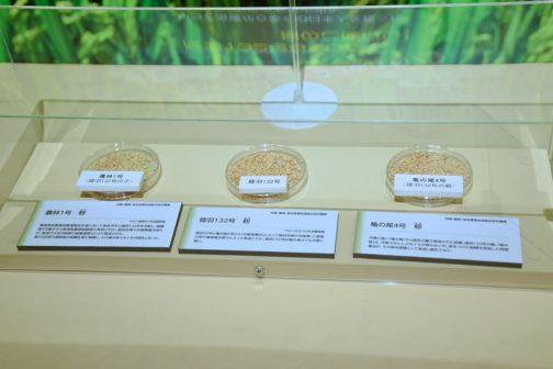 左:農林1号(陸羽132号の子) 農林1号 籾 1931(昭和6)年品種登録 農商務省農事試験場陸羽支場において森多早生と陸羽132号を交配し、雑種第5代種子から新潟県農事試験場で育成された。陸羽支場では稲塚権次郎らが、新潟では並河成資や鉢蝋清香らにより育成された。 第二次世界大戦前後の食料生産に貢献し、その後の多くのイネの祖先となった。 中:陸羽132号 籾 1921(大正10)年品種登録 陸羽20号と亀の尾4号から「交雑育種法」によって陸羽支場で寺尾博、仁部富之助や稲塚権次郎らによって育成された。陸羽132号は亀の尾よりも冷害に強い。 右:亀の尾4号 籾 冷害に強い「亀の尾」からの純系分離で育成された品種。陸羽132号の親。「亀の尾」は、冷害でほとんどのイネが実らない中、実をつけた稲穂を発見した阿部亀次治が、その籾を原種として育成し誕生させた。