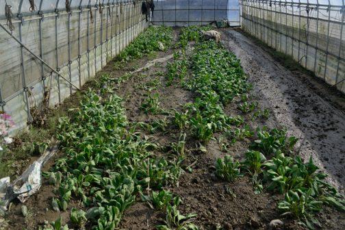 これはほうれん草でしょうか?Sさんはあちこちのスーパーに野菜を出しています。その野菜ファンはしばらくSさんの野菜が食べられません。
