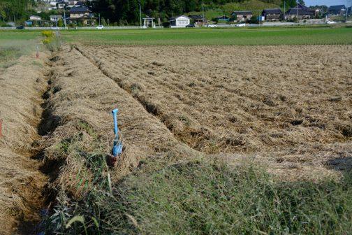 田んぼに浮いた稲刈りあとのワラが、北東の風に吹き寄せられ、最終的に排水路に向かったのでしょう・・・一部の田んぼには大量のワラが溜まっています。