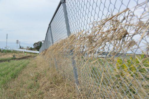 機場のフェンスに最大水位のラインに沿ってワラがきれいに引っ掛ってたなびいています。