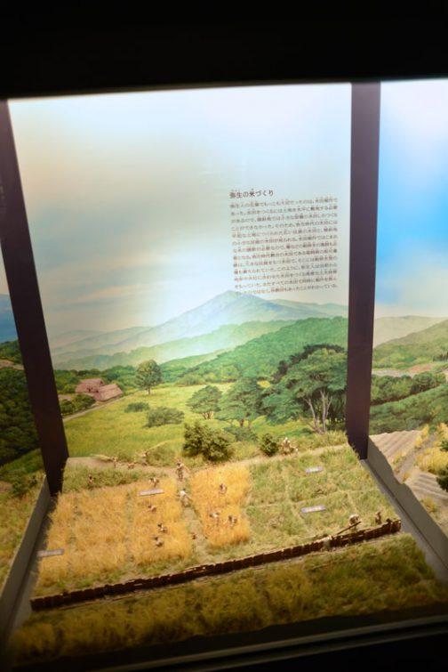 さらに展示は続きます。 弥生の米づくり 弥生人の生業でもっとも大切だったのは、水田稲作であった。水田を作るには土地を水平に整地する必要があるので、傾斜地では小さな面積の水田しか作ることができなかった。そのため、弥生時代の水田には平坦なとちに作られた広い区画の水田と、傾斜地の小さな区画の水田が見られる。水田稲作ではこまめな水の調節が必要なので、堰などの給排水の施設も必要となる。弥生時代最古の水田である福岡県の板付遺跡は、大きな区画を持つ水田で、そこには給排水型の堰も備えられていた。このように、弥生人は当初から地形や水位に合わせた水田を作る高度な土木技術を持っていた。またすべての水田で同時に稲作を営んでいたのではなく、休耕田もあったことがわかっている。