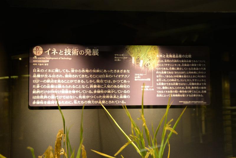 まずはパネルから・・・ イネと技術の発展 日本のイネに関しても、昔からの各地の気候にあったさまざまな品種が生み出され、栽培されてきた。そこには日本のバイオテクノロジーの原点を見ることができる。しかし現在では、かつてあった多くの品種は顧みられることなく、消費者に人気のある特定の銘柄だけが作付け面積を増やしている。多様性が減少しているのは自然界の話だけではない。先祖がつくった技術体系と品種の多様性を維持するために、私たちの努力が必要とされている。 とこのように書かれ、日本に存在してきた様々なイネの品種を培ってきた技術の産物である多様性と捉え、経済製だけを考えあるひとつに収束した結果、他のものが途絶えることの危機感を訴えています。確かに過去、このようなことが幾度となく起きてきましたものね。一度途絶えてしまったものは復活させることが難しいですから・・・ 本州と北海道品種の比較 これは、本州の代表的な栽培品種である「コシヒカリ」と「ササニシキ」を、北海道の環境で育てたものである。右側に展示している北海道の代表的な品種「きらら397」と同時期に作付けを行い、「きらら」が収穫を迎えた時に刈取りを行った。この時点で、コシヒカリ、ササニシキとも収穫できる状態ではない。収穫時期まで待つと霜害にあう。このため、本来、熱帯性の植物であるイネを夏の短い寒冷地で育てるには、品種改良によって生育期間を短くする必要がある。 とあります。写真ではわかりにくいですが、「きらら」が黄色くもう収穫できるのに対し、「コシヒカリ」と「ササニシキ」はまだ青く未成熟な写真が示され、気候によって品種改良が必要であることが説かれています。多様性が失われた状態で「今」人気のある品種ばかりを作っていると、気候が変動したり、嗜好が変わったりした場合に対応ができなくなる・・・ということなのでしょうね。