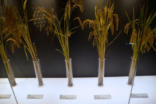 左:走坊主(そうぼうず) 採用年:1924(大正13)年 人工交配による北海道初の品種。 左から3番目:富国 採用年;1935(昭和10)年 初の北海道以外の品種との交雑種。当時の道内作付け1位。 左から3番目:ゆきひかり 採用年:1984(昭和59)年 以前の奨励品種のひとつ。冷害に強い。 右端:きらら397 採用年:1990年 長所は良食味であり、初期生育が良く、穂数確保が容易(ウィキペディアより)