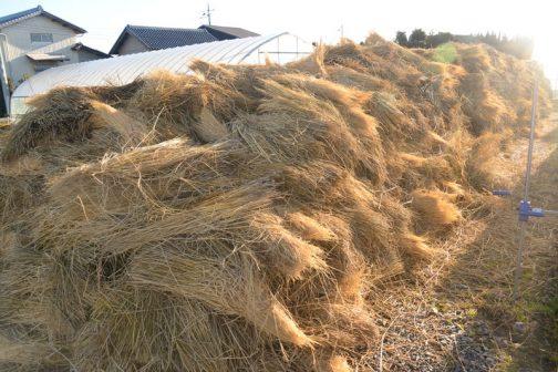 その量は膨大です。僕は茨城に来てから納豆が食べられるようになったのでそのあたりが理解できませんが、生粋の茨城っ子は「藁苞納豆はパックよりおいしい」と言います。多分、通気性がちょうどいいのでしょうね。すごい量の稲わらは1年でなくなってしまうそう。ということはこれから先藁苞納豆はしばらく品薄になるのではないでしょうか?