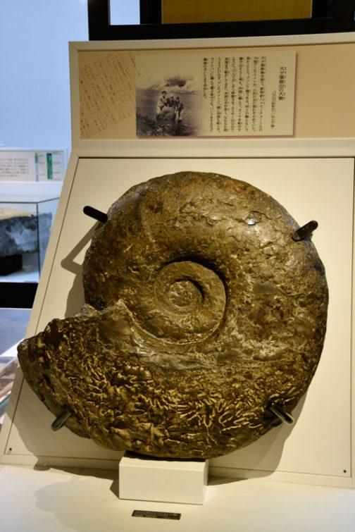 これなんかすごく大きいです。長いところで1Mくらいの幅がるのではないでしょうか?昔の貨幣みたいですけどアンモナイトの化石です。