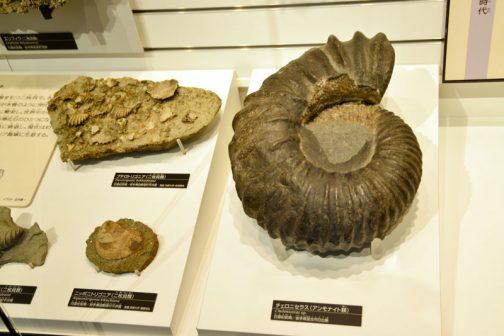これもかなり大きいですし、模様が大きくてキモチワルイ・・・右の大きいの→チェロニセラス(アンモナイト類)白亜紀前期/岩手県宮古市日出島 アンモナイトにはいろいろな種類があったんです。