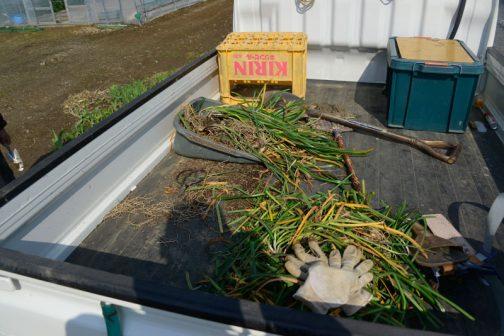 削れた部分に土を盛ったので球根の出番です。この時期、ヒガンバナの球根を売っているところはありません。ある意味ラッキーです。