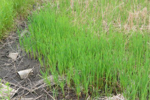 去年も書きましたが、このあたりは枯れた植物の層「マコモ層」があってとても柔らかい土地だそう。作っていない田んぼにもこのように、セイタカアワダチソウのような雑草ではなく、マコモで覆われています。これの枯れたものが長い間掛けて堆積しているみたいです。