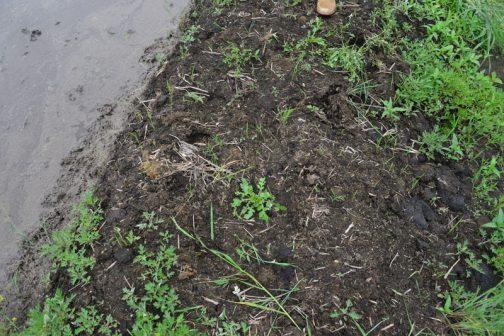 マコモ層の露頭。堆肥かと思いました。フカフカで、このうえで飛び跳ねるとボヨンボヨンします。