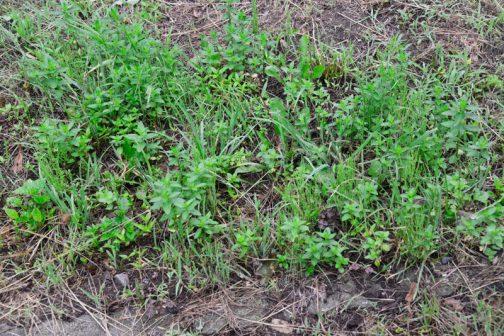ところが今年、草刈りをした後に去年よりたくさんのハッカが芽を出しました。これは一体どういうことなのでしょう・・・