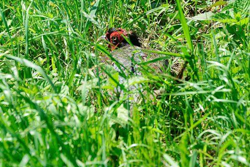 ずっとstay home(言い訳ですけどね)で庭が草でボーボーになっていたためか、台所の裏にキジがやってきて砂浴びをしています。このオスはなすごくおじいさん。羽根などもツヤがなく、頭のてっぺんはつつかれたのかハゲちゃっています。 こんな平地で田んぼばかりの身を隠すところのない場所でよく生きているなぁ・・・と思います。もう少し森っぽいところに行けばいいのに・・・