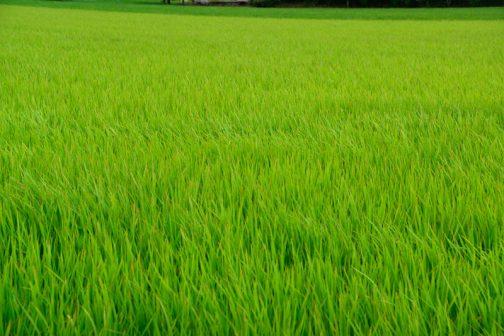 活動には関係ないですけど、だいぶ稲も育ってきました。