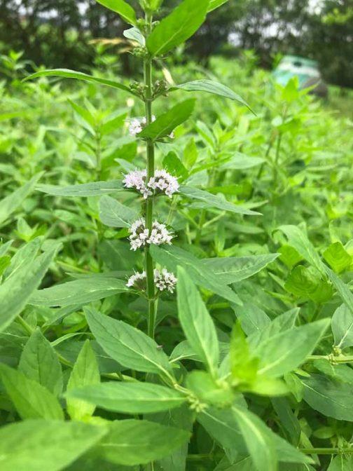 昨年の天候不順による、まさかの花をつけない事態に「ついに絶滅か!」と思われた庭の日本ハッカ。なぜか奇跡的に出てきたハッカが順調に育ち、花をつけました。花をつけたということはタネができるということで、これで来年も大丈夫かな・・・といったところです。