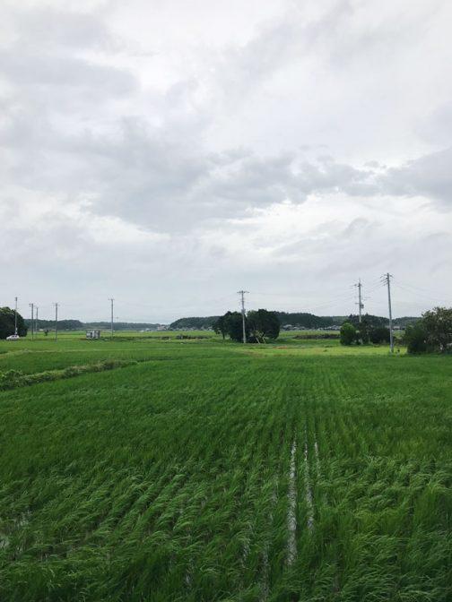 そして今朝。風が若干強いです。朝早い時間には雨が降っていましたが、いまはやんでいます。稲もずいぶん大きくなって、一筋水面が見えるだけとなっています。