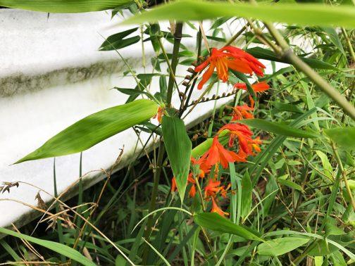 ノカンゾウのような花ですが、ノカンゾウよりは花が小さく、花色もずっと濃く目立ちます。
